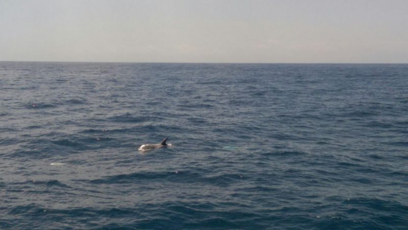 Risso's dolphins in the north of La Gomera