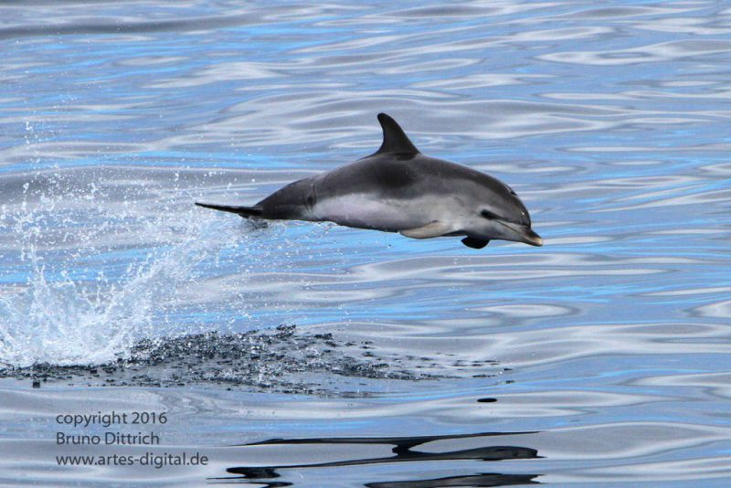 Young Atlantic spotted dolphin jumping