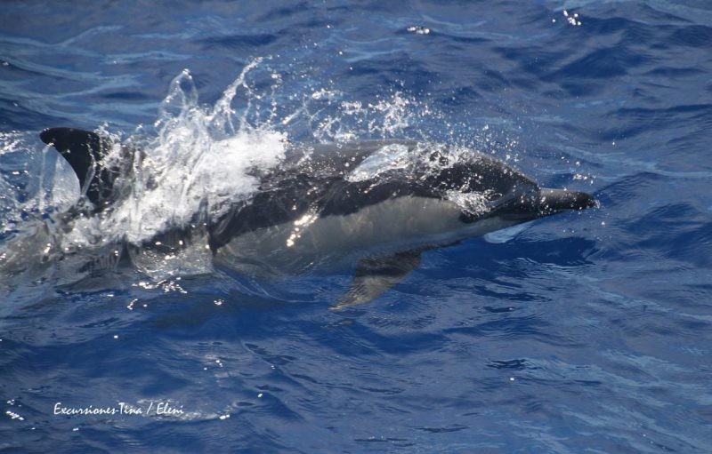 Common dolphin La Gomera