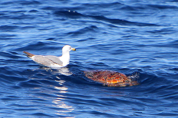 Loggerhead sea turtle and a seagull
