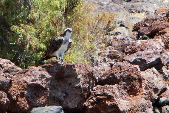 Osprey coast of Gomera