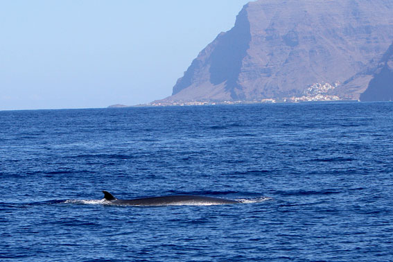 Bryde´s Whale Valle Gran Rey