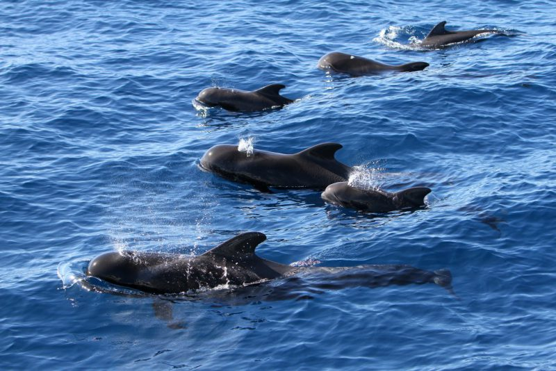Pilot whales with calfs