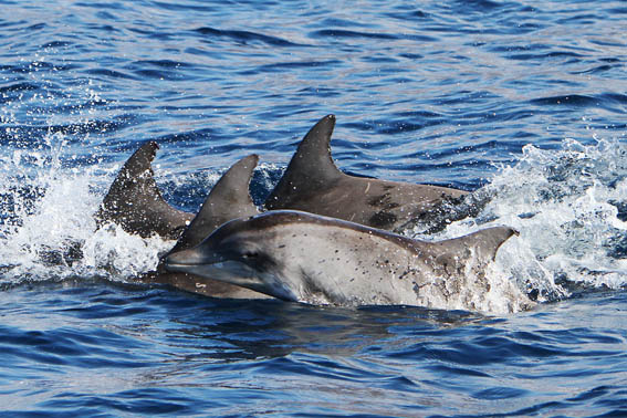 Rough-toothed dolphins with baby La Gomera