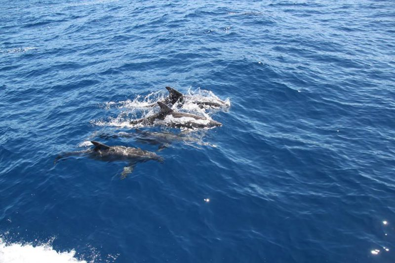 Atlantic spotted dolphins Tina