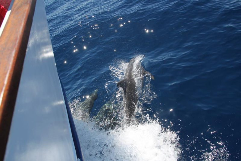 Bottlenose dolphins below the boat Tina
