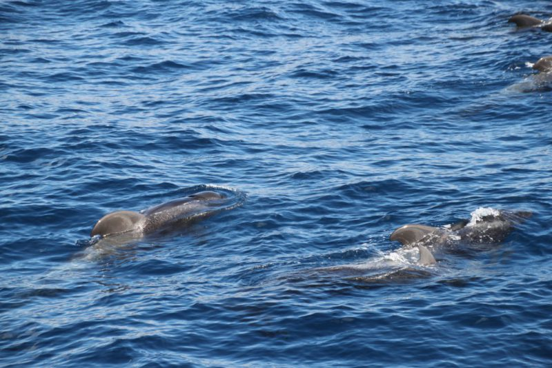 Pilot whales off the coast of La Gomera