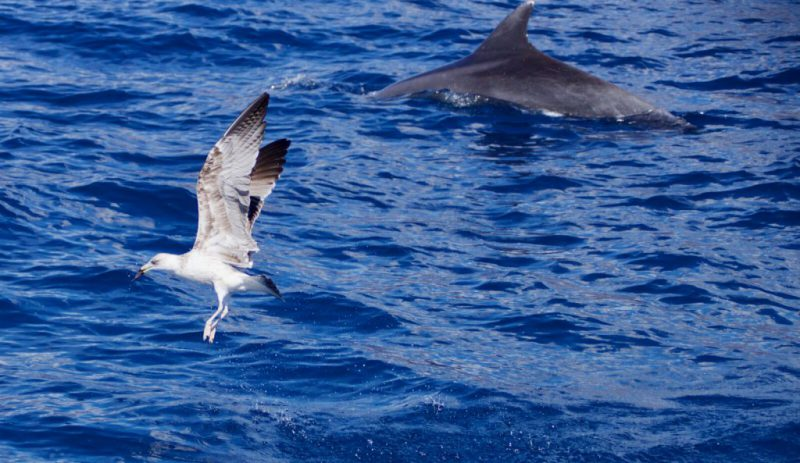 Bottlenose dolphin with Cory's shearwater