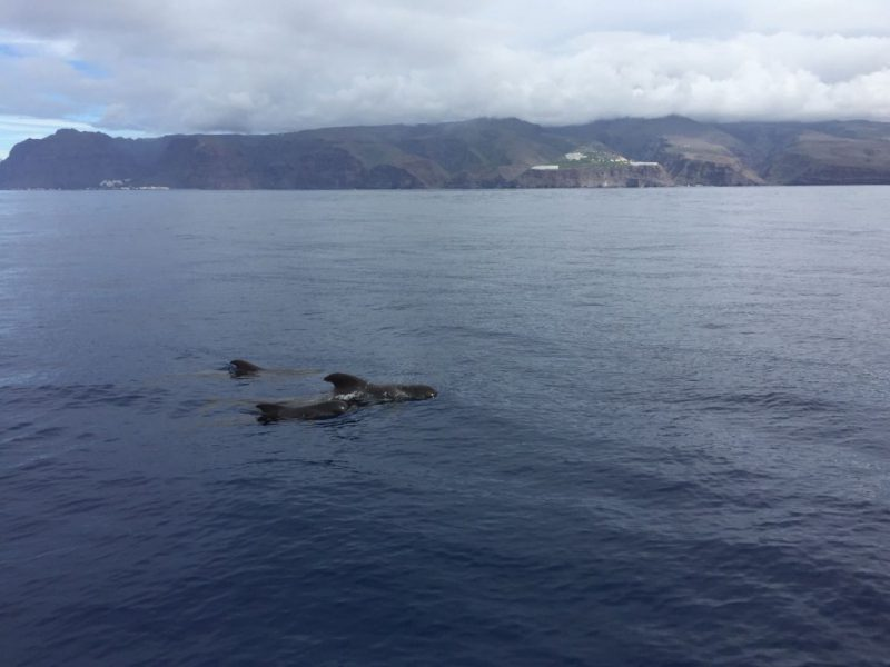Pilot whales off the southwest coast of La Gomera