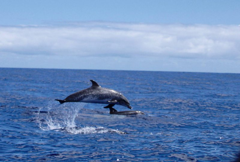 Jumping Atlantic spotted dolphin - Photo Jaqueline B.