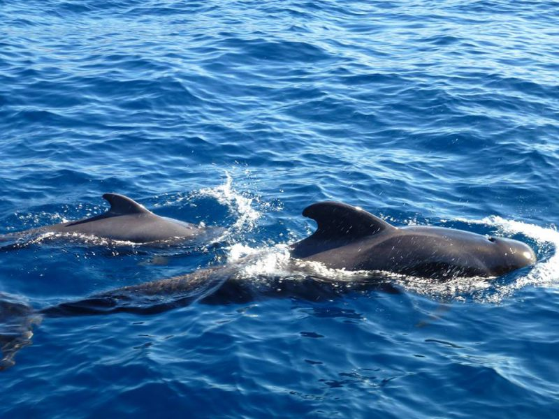 Pilot whale with calf