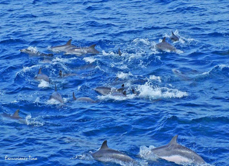 countless Atlantic spotted dolphins