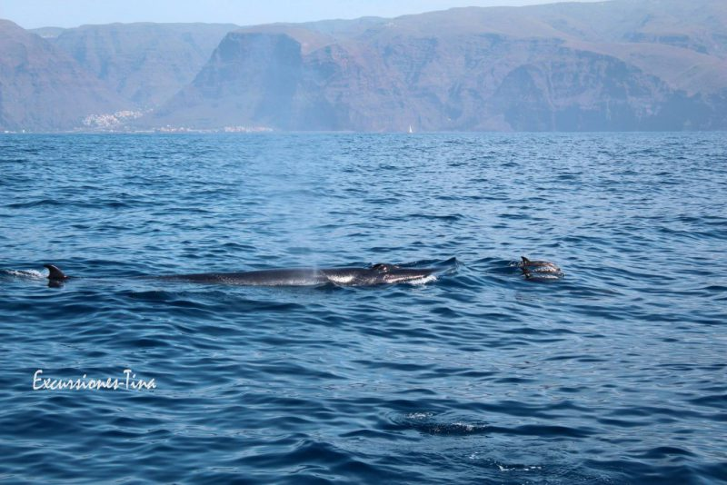 Bryde's whale with Atlantic spotted dolphins