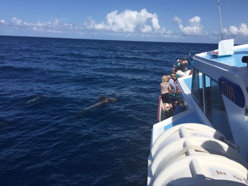 Pilot whales near the Tina boat