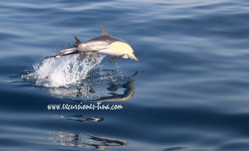 Common dolphins jumping synchronized
