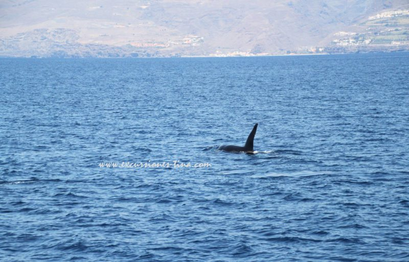 Orca with gomeran coast in the backgroung