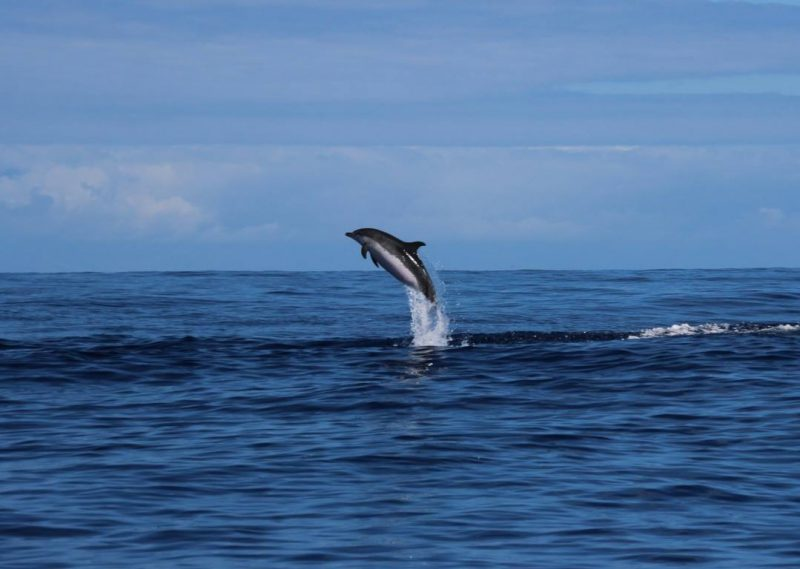 Atlantic spotted dolphin jumping