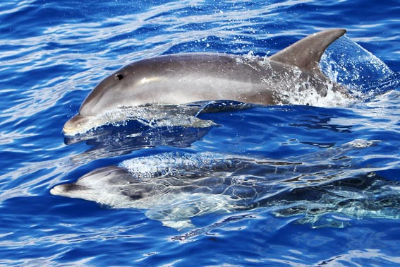Bottlenose dolphins off the coast of La Gomera
