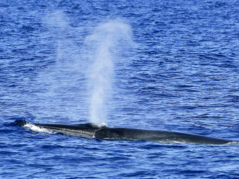 Bryde's whale with blow