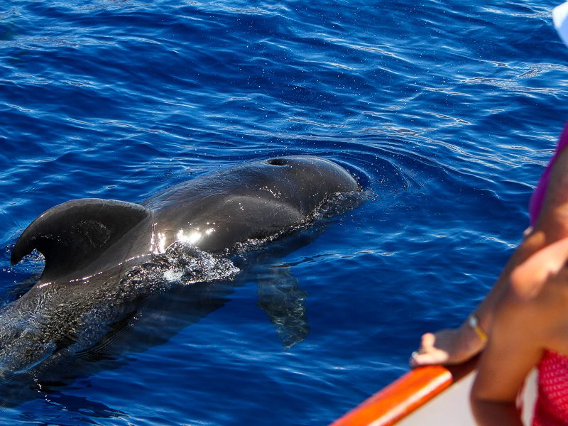 Pilot whale close to the Tina boat